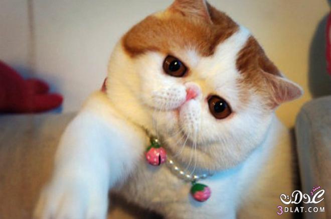 صور قطط جميلة , اجمل القطط ,قطط كيوت 3dlat.com_1400364052