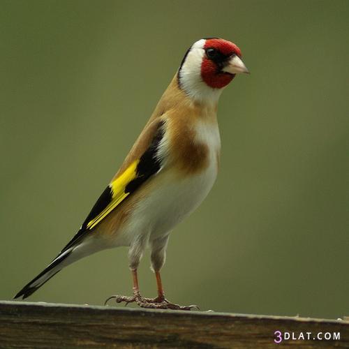 صور لطائر الحسون الانيق , اجمل صور لطائر الحسون 2014 , صور الطائر الانيق 3dlat.com_1403511313