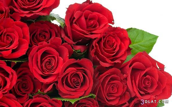 صور ورد احمر صور ورود حمراء 2015 صور ورود جميله حمراء صور ورد احمر صور روز احمر 3dlat.com_1406583851