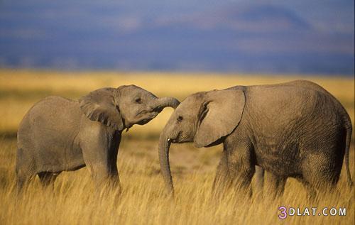 صور افيال صور افيال صغيره صور فيل كبير صور افيال افريقيا صور افيال منوعه افيال ص 3dlat.com_1406588601