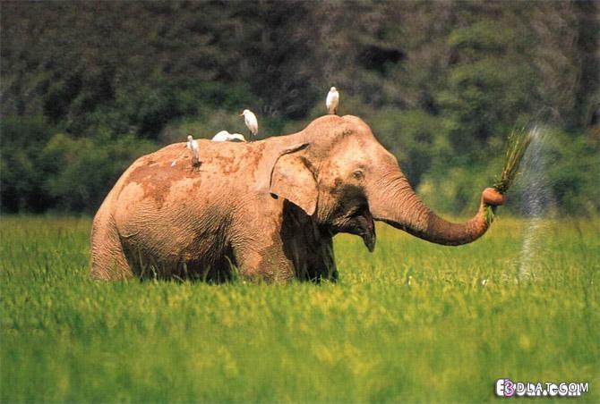 صور افيال صور الفيل صور افيال كبيره صور فيل افريقى صور الفيل الهندى صور افيال اس 3dlat.com_1406846367