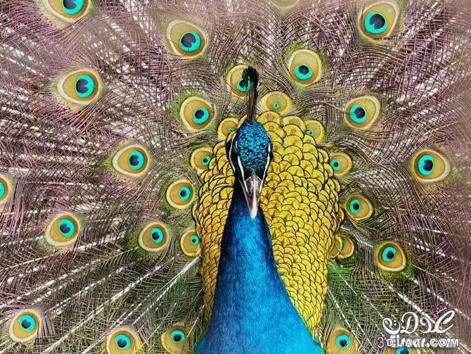 صور للطاووس 2014 صور طبيعية للطاووس 2015 صور جميلة للطاووس 3dlat.com_1407093358
