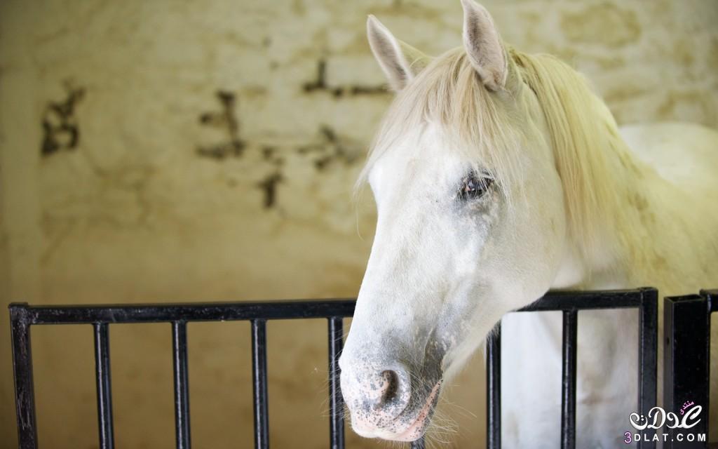 صور خيول عربيه2014,صور حصان عربى,صور الحصان العربى, صور خيول عربيه اصيله 3dlat.com_1409685965