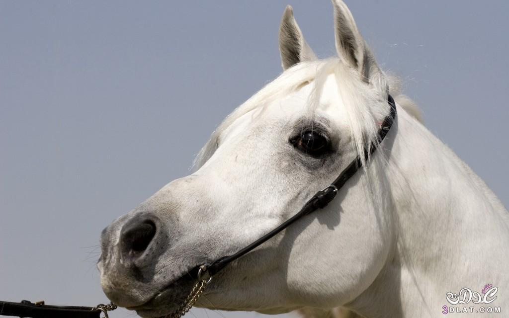 صور خيول عربيه2014,صور حصان عربى,صور الحصان العربى, صور خيول عربيه اصيله 3dlat.com_1409685966
