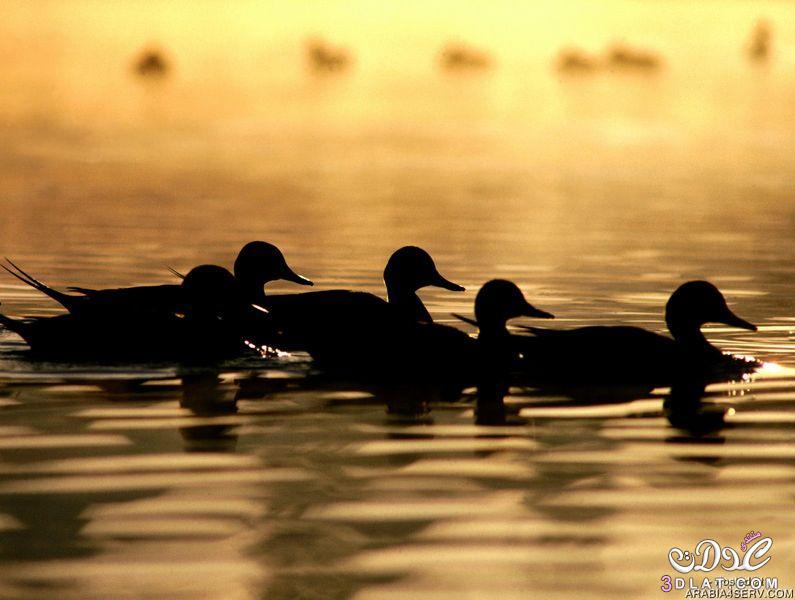 صور طيور مائيه2015 صور طيور بحريه صور طيور جديده عاليه الجوده صور طيور مائيه عاليه ال 3dlat.com_1409907399