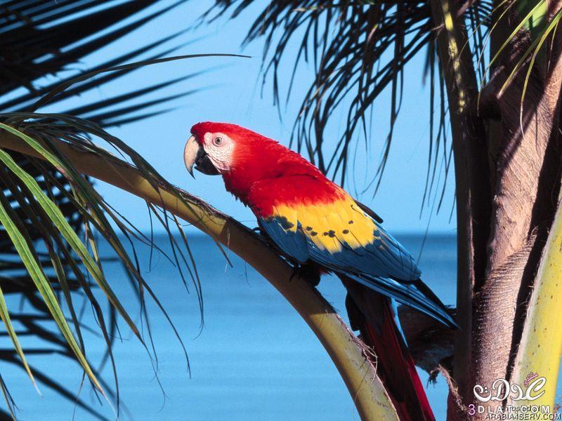 صور الببغاء 2015 صور طيور الببغاء,صور ببغاوات.صور منوعه للببغاء,طيور الببغاء الملونه 3dlat.com_1409908222
