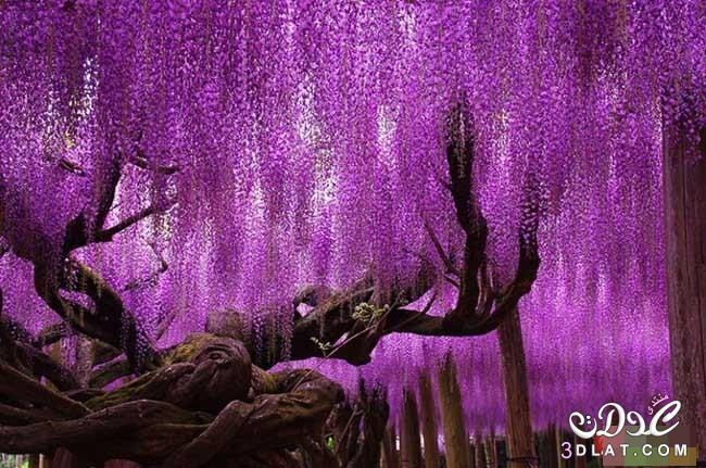 أشجار رائعة من جميع أنحاء العالم - صور اشجار نادرة سبحان الله - rare trees 3dlat.com_1410751809