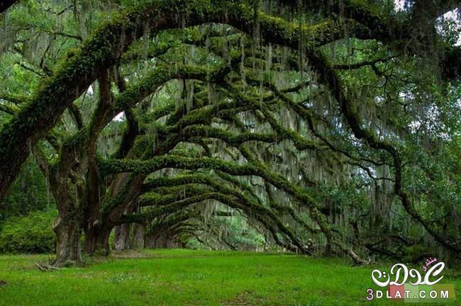 أشجار رائعة من جميع أنحاء العالم - صور اشجار نادرة سبحان الله - rare trees 3dlat.com_1410751867