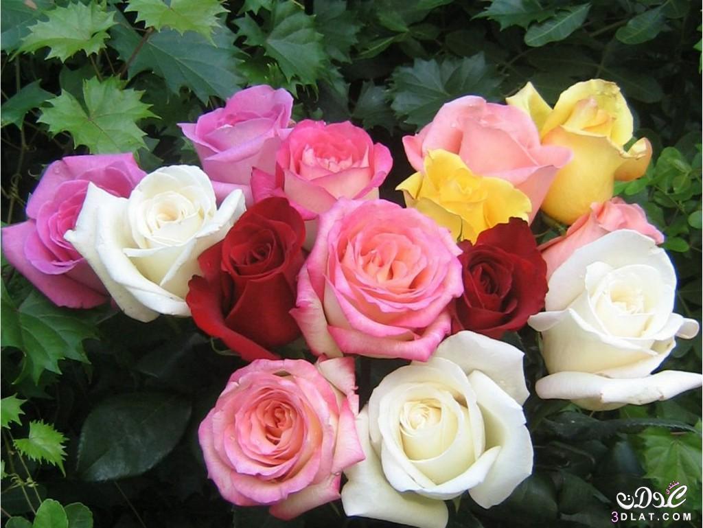 ازهار جميلة صور ورود زهور جميله ذو الالوان الخلابه ورود بالصور زهرات وورود طبيعية 3dlat.com_1414776965