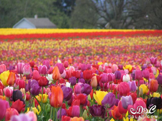 ازهار جميلة صور ورود زهور جميله ذو الالوان الخلابه ورود بالصور زهرات وورود طبيعية 3dlat.com_1414777432