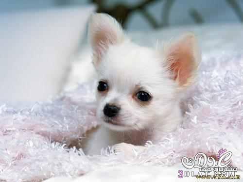كلب الشيواواو صور كلب الشيواوا الاصلى المكسيكى اصغر كلب فى العالم 3dlat.com_1415308420