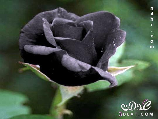 الورد الاسود صور الورد الاسود معلومات عن الورد الاسود 3dlat.com_1415309031