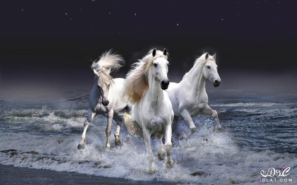 الحصان العربى,صور الحصان العربى 2015, صور جديده للحصان الاسود.صور الحصان العربى الابي 3dlat.com_1415996227