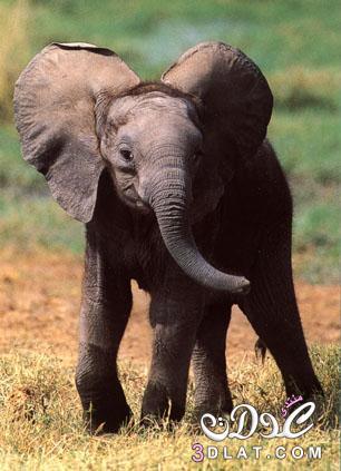 صور افيال صور الفيل صور للفيل صورة الفيل الكبير افيال كبيره صور افيال ضخمه 3dlat.com_1416065061