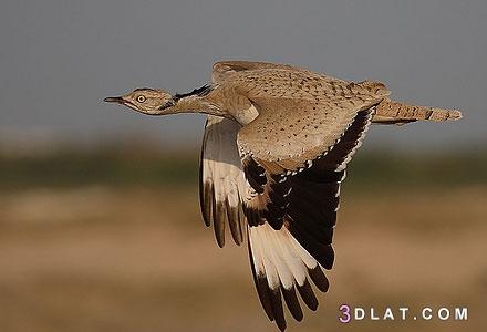 انواع الطيور المهاجرة ، معلومات عن الطيور المهاجرة 3dlat.com_14_19_e0ba_24c691f4d3cf1