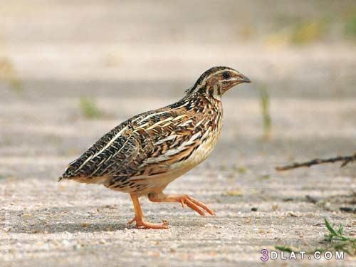انواع الطيور المهاجرة ، معلومات عن الطيور المهاجرة 3dlat.com_14_19_e0ba_aead63085c7f4