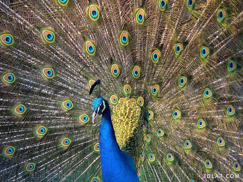 معلومات طائر الطاووس الهندي,اماكن تواجد الطاووس 3dlat.com_15_18_ef03