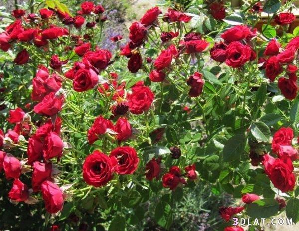 ورود رائعه، طبيعي بالوان مختلفه خلفيات 3dlat.com_16_18_bebe