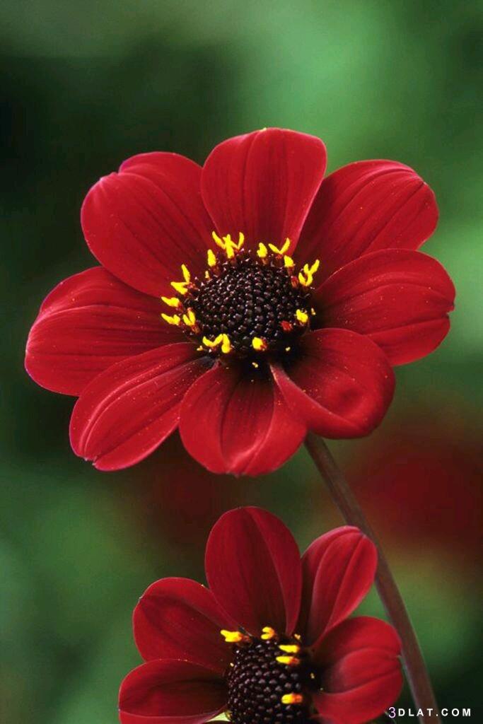 خلفيات زهور وورود، ورود ازهار طبيعيه 3dlat.com_16_19_7f1e