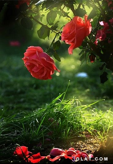 أجمل الورد 2020 خلفيات طبيعى ورود رومانسية