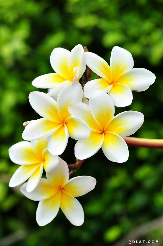 خلفيات زهور وورود، ورود ازهار طبيعيه 3dlat.com_16_19_fe0d