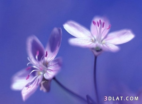 اروع الورود,خلفيات ورود ملونة,صور زهور,خلفيات زهور,رمزيات 3dlat.com_17_18_38d3