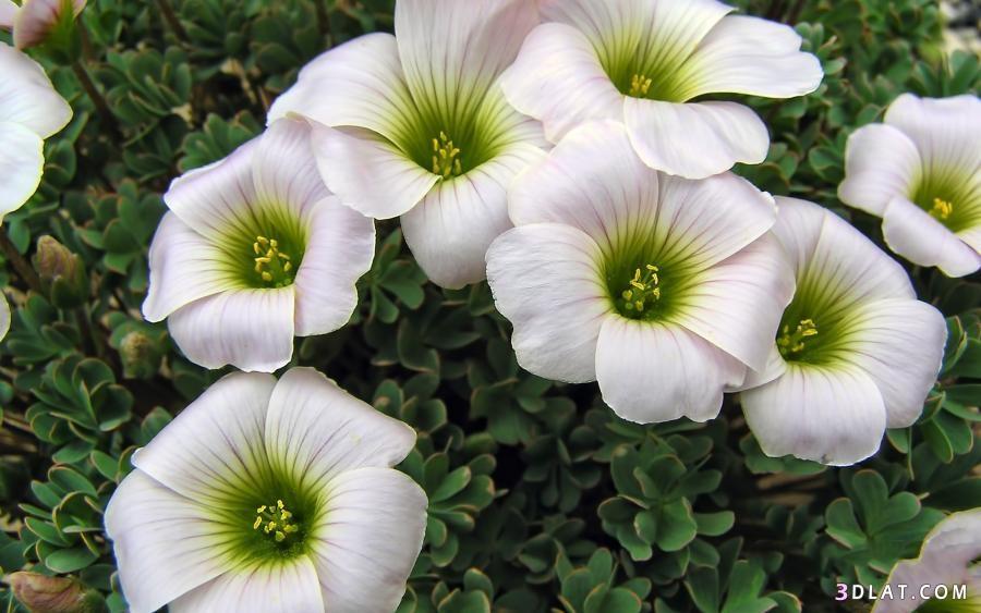 اروع الورود,خلفيات ورود ملونة,صور زهور,خلفيات زهور,رمزيات 3dlat.com_17_18_b227