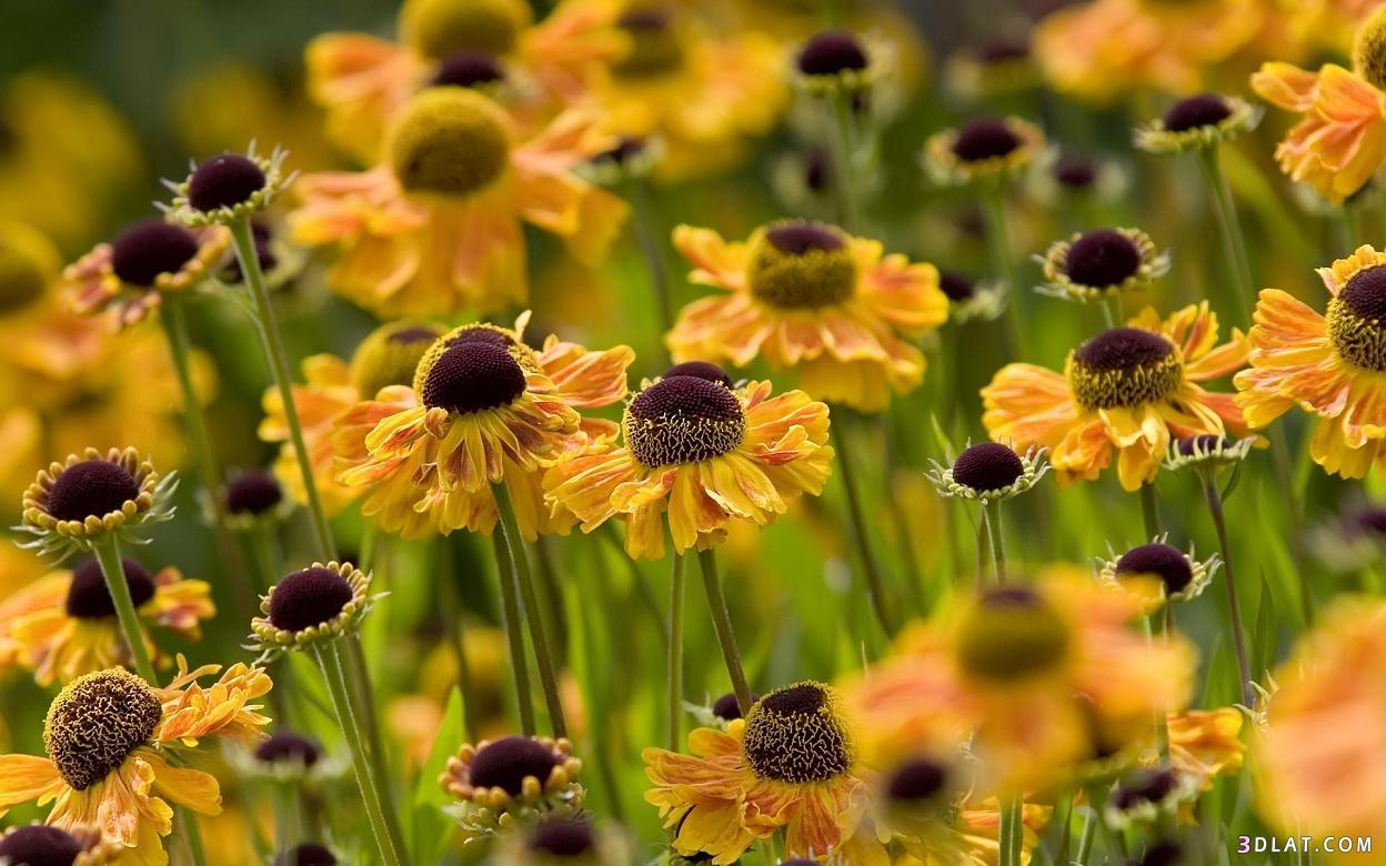 اروع الورود,خلفيات ورود ملونة,صور زهور,خلفيات زهور,رمزيات 3dlat.com_17_18_c814
