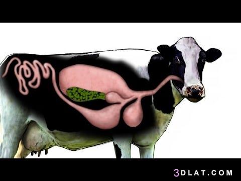 البقر, حياتها, ودورة