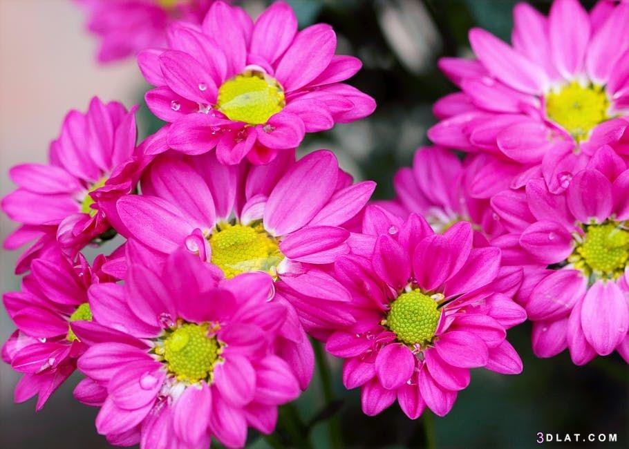 ورود رائعه.أجمل زهور2019.صور ورود مميزة. 3dlat.com_20_18_3e2a