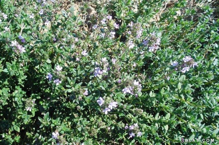 نبات الزعتر زراعته وأهميته الكبيرة 3dlat.com_21_18_5aa6