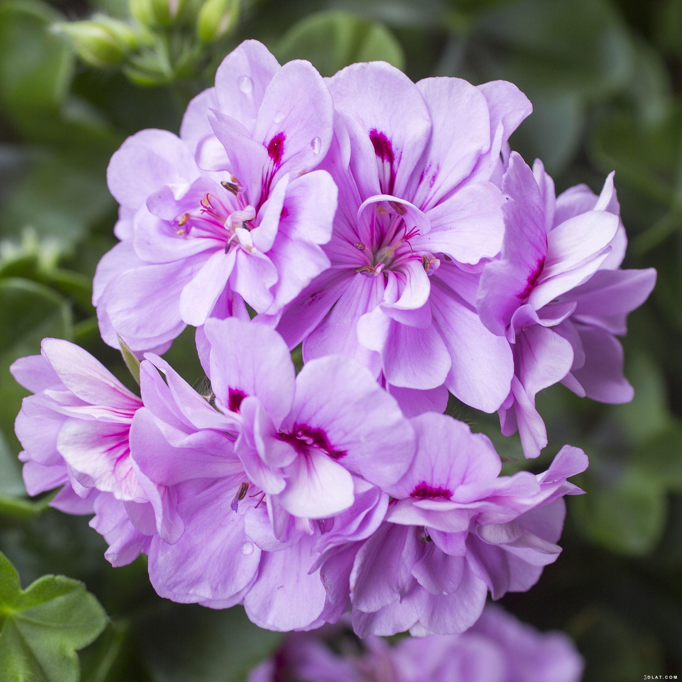 ازهار مميزة 2019 اجمل الورد والازهار 3dlat.com_22_18_539f