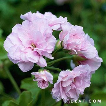 ازهار مميزة 2019 اجمل الورد والازهار 3dlat.com_22_18_8e7d