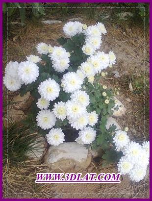[بعدستي] صور بعدستي وصور نباتات  وزهور من حديقة البيت 3dlat.com_23_2014)Ph
