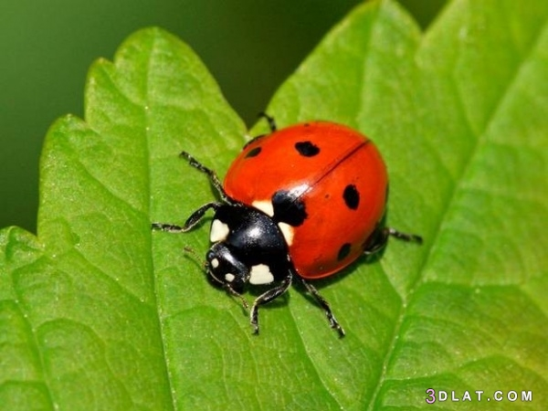 الحشرات التي تأكل البراغيث وأفضل التخلص 3dlat.com_30_18_fbf2