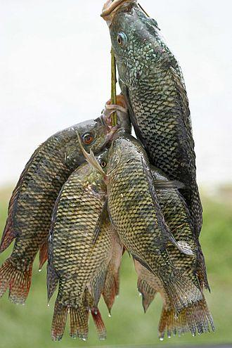 السمك البلطي النيلى،وصفه،اكله،اماكن وجوده،قيمته الغذائية 3dlat.net_03_17_8dd1