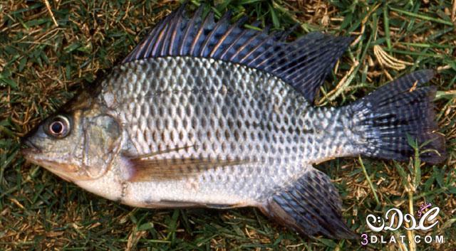 السمك البلطي النيلى،وصفه،اكله،اماكن وجوده،قيمته الغذائية 3dlat.net_03_17_90c6