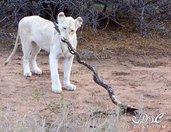 الأسد الأبيض، من أندر الحيوانات الموجودة على سطح الأرض
