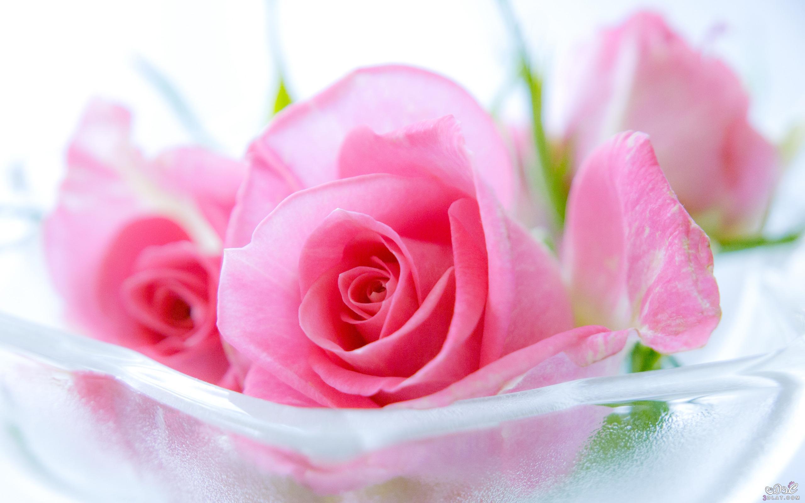 745654a9 صور ورد جميل في باقا زهور مميزة ميكسا ك Kotapraja Com