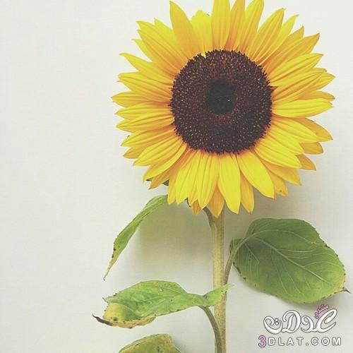 اكبر مجموعة صور زهرة عباد الشمس 2021 صور وردة عباد الشمس روعة 2021 Photos Flower Sunflower العدولة هدير