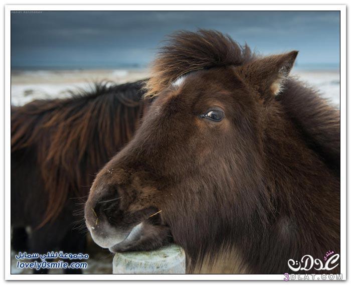 الحصان الايسلندى 2015 , الخيول الايسلنديه الكبيره صور الخيول الايسلنديه 3dlat.net_10_15_4a3e