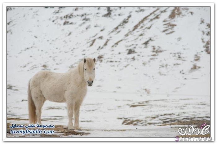 الحصان الايسلندى 2015 , الخيول الايسلنديه الكبيره صور الخيول الايسلنديه 3dlat.net_10_15_6f2b