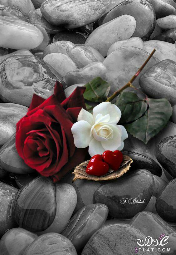 صور ورود صور ازهار وقلوب رومانسيه صور ورد احمر غايه في الجمال