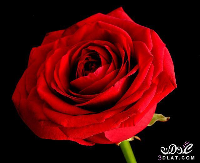 صور أجمل زهور ورود جميلة جدا أروع ورود 3dlat.net_14_14_164c