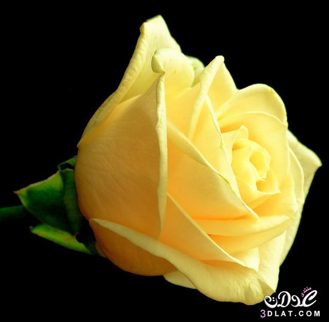 صور أجمل زهور ورود جميلة جدا أروع ورود 3dlat.net_14_14_426e