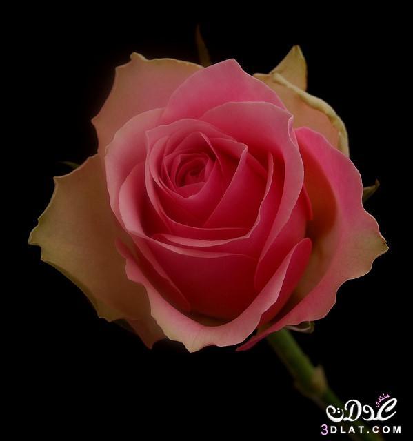 صور أجمل زهور ورود جميلة جدا أروع ورود 3dlat.net_14_14_7dac