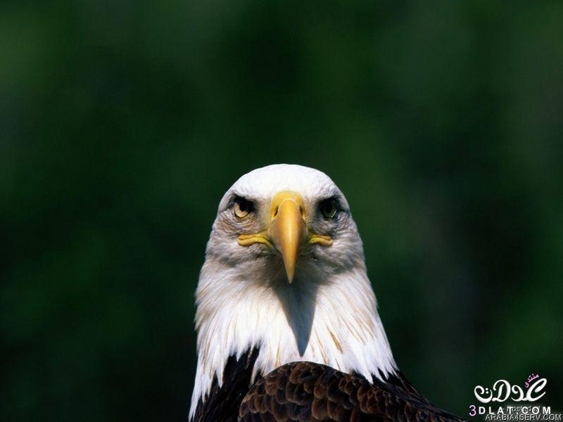 صور النسر 2015 صور النسور الامريكيه صور النسور صور النسور غايه الوضوح صور النسور واضح 3dlat.net_15_15_04d2