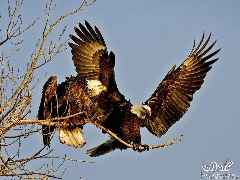 صور طيور غايه الوضوح 2015 صور طيور واضحه غايه الدقه 2015 صور طيور رائعه صور طيور جميل 3dlat.net_15_15_6ec1