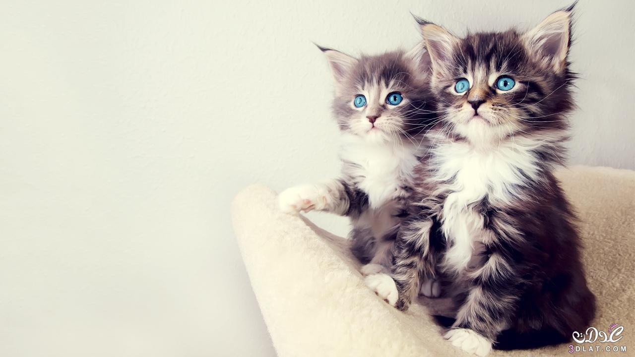 صور ا جمل القطط , احلى قطط صغيره قطط رقيقه , احلى صور للقطط , صور قطط حلو , قطط روعه 3dlat.net_15_15_a6f6