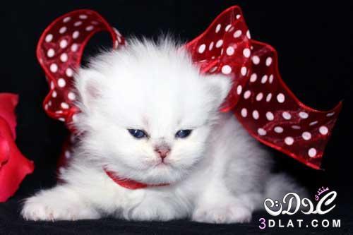 احلى صور للقطط , صور قطط حلو , قطط روعه , صور قطط نادره , صور ا جمل القطط 3dlat.net_15_15_be70
